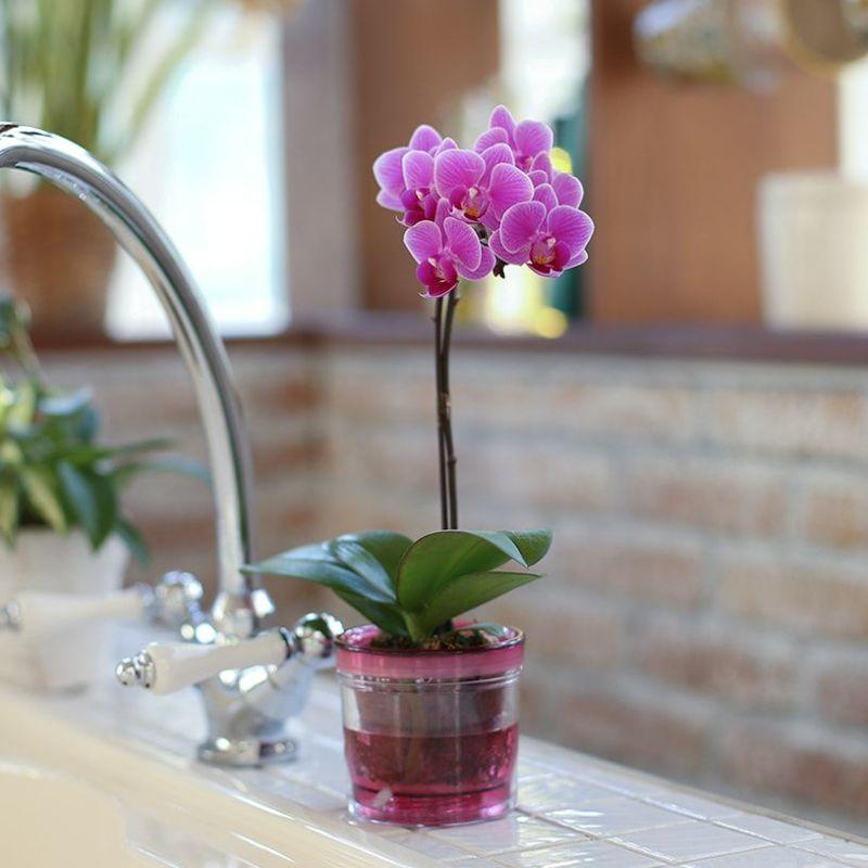 アクア給水ポット胡蝶蘭